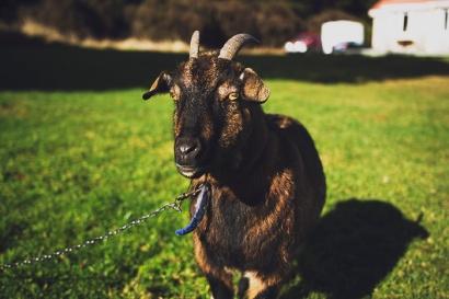 chocolate-goat