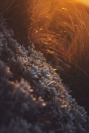 sunset-plants-and-grass